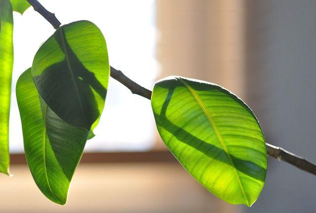 Árbol del caucho