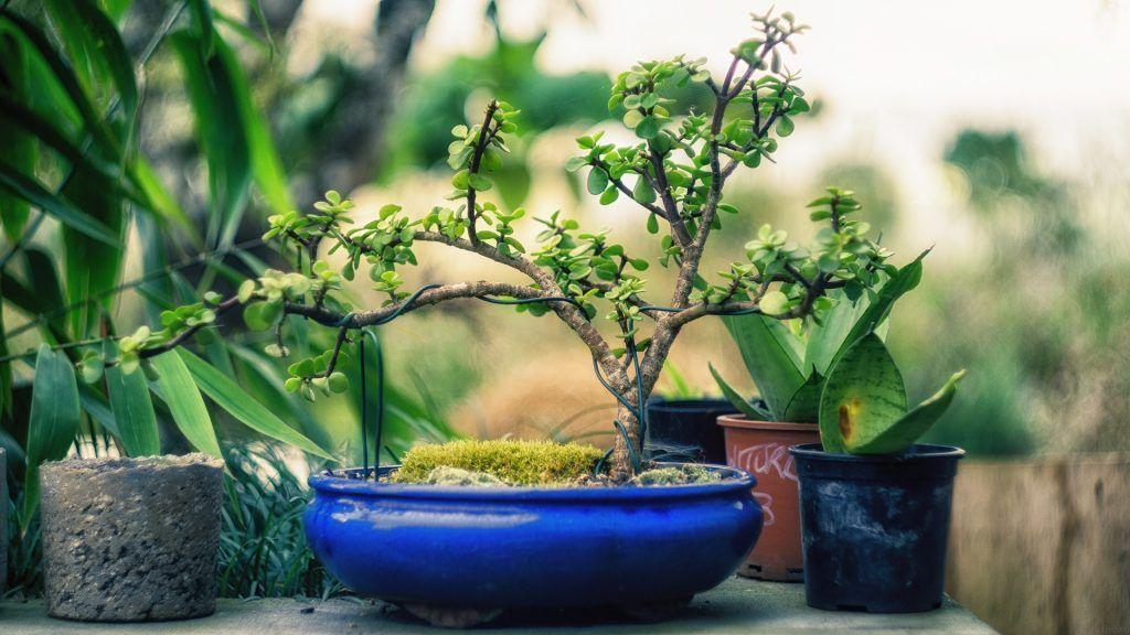 Bonsai de peepal